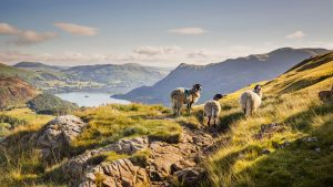sheep bathed in early morning light in the Lake District, Cumbria. Above Ullswater on a fine summer morning